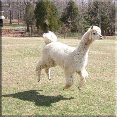 Gli animali ti guardano - Il poffoso alpaca