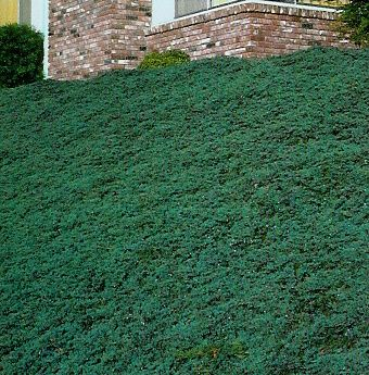Blue rug juniper would also work on my sloped front yard.