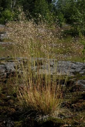 Deschampsia flexuosa / metsälauha