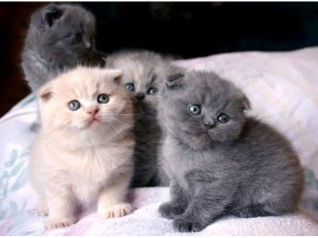 Animals We Have Scottish Fold Kittens For Sale They Are Being Sold Fully Vaccinated Scottish Fold Kittens Cute Animals Munchkin Cat Scottish Fold