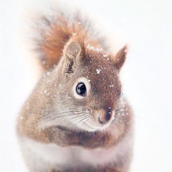 Red Squirrel Art, Nature Photography, Woodland Animal #wild animals| http://awesome-tattoo-pics-kathleen.blogspot.com
