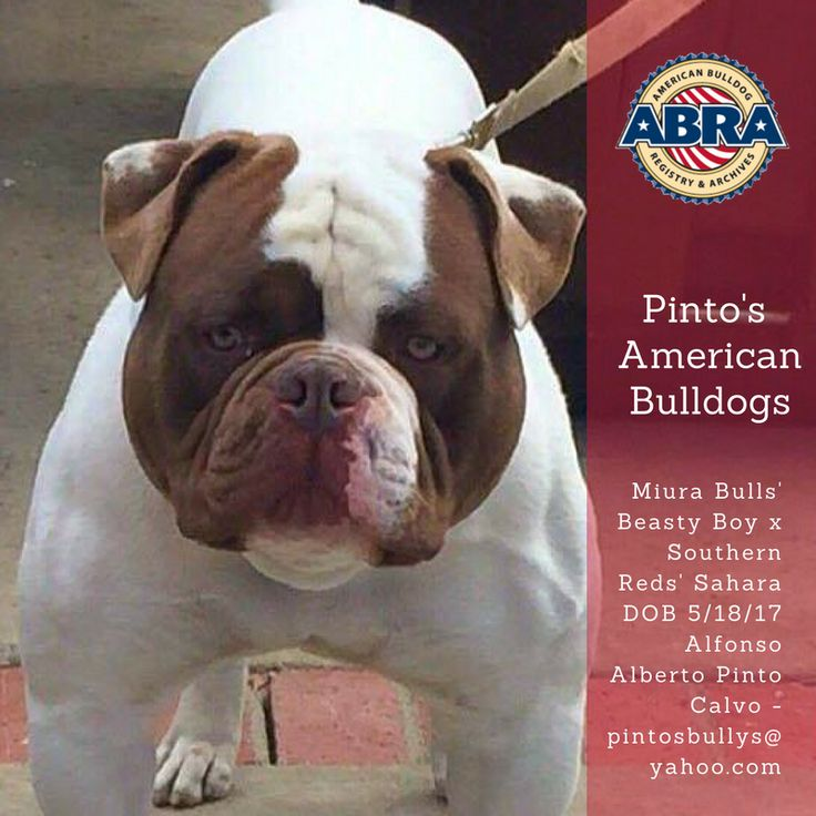 Congrats Alfonso & thank you for registering ABRA again!  Pinto's American Bulldogs ABRA #22110-15 Miura Bulls' Beasty Boy x Southern Reds' Sahara DOB 5/18/17 Alfonso Alberto Pinto Calvo - pintosbullys@yahoo.com  ABRA Registered American Bulldog Puppies in Hacienda Heights. CA  www.abra1st.com/puppies-for-sale/
