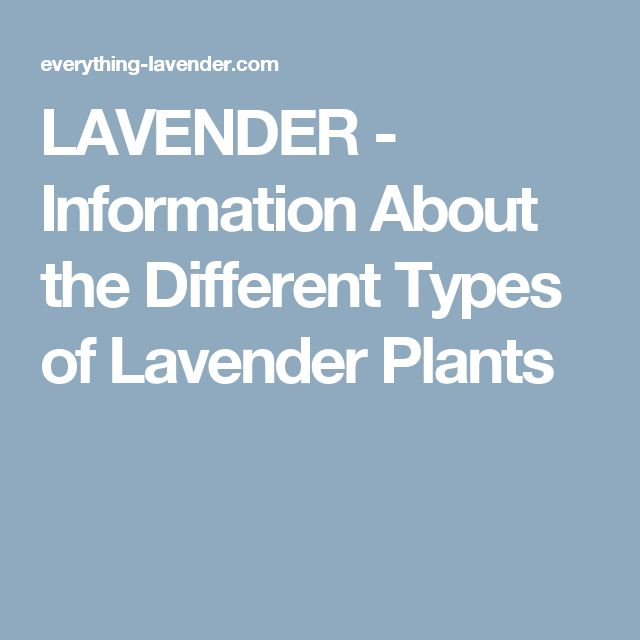 LAVENDER - Information About the Different Types of Lavender Plants