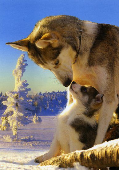 1795 - Husky emo ja pentu
