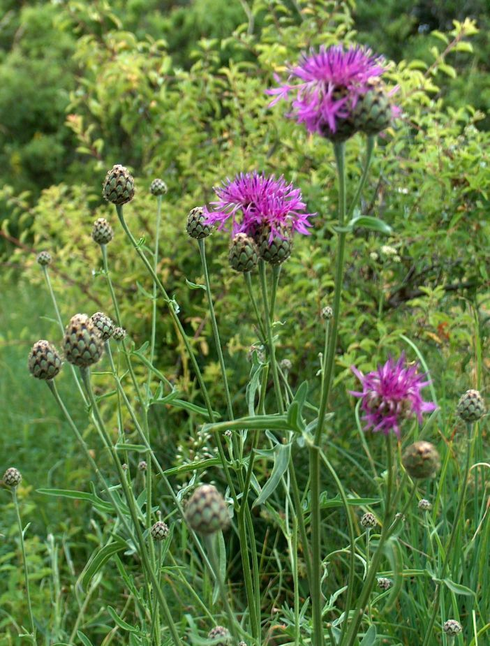 Centaurea scabiosa - Greater knapweed.  Very valuble to bees and a magnet for butterflies.