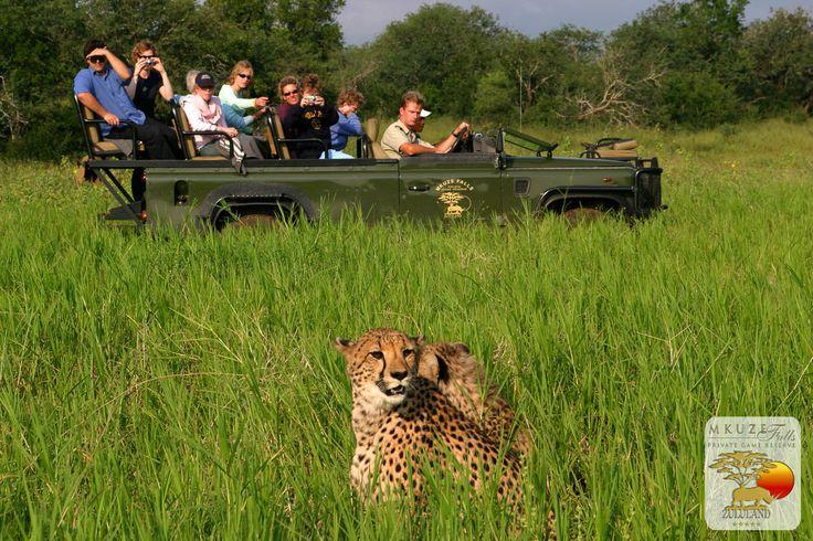 Cheetah at Mkuze Falls
