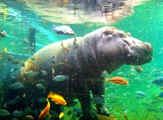Happy Hippo - Adventure Aquarium, Camden, NJ