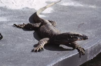Visit a summertime beach or poolside and you're likely to find humans stretched out to enjoy the sun. Lizards also bask in the warm rays of sunlight, but their focus is on survival, not on getting a tan. Lizards lay out early in the morning, relying on the morning sun to jump-start their metabolism.