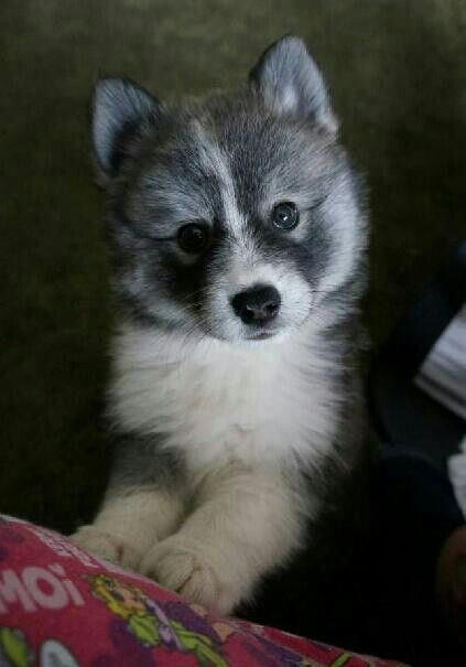 So I'm looking at pomsky puppies again and I can't stop laughing, they are just so cute! More