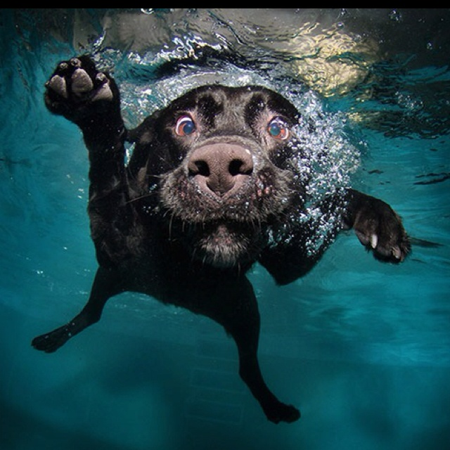 Image result for labrador swimming underwater