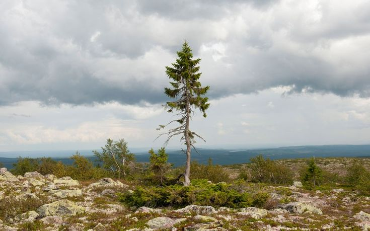 "Old Tjikko Norway Spruce The oldest living ""individual clonal"" tree, at 9,550 years, Old Tjikko is just five metres tall and is found in the Dalarna province of Sweden. It was discovered by Leif Kullman, a professor at Umea University, who chose to name it after his late dog."
