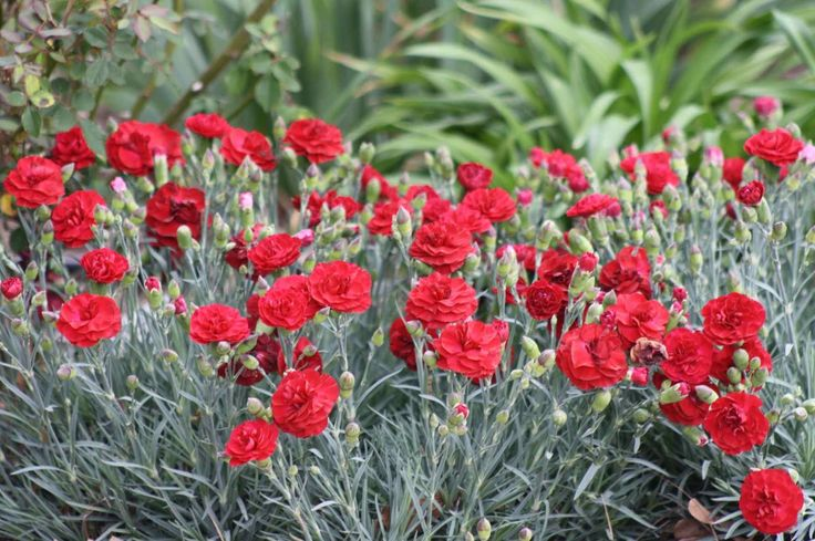 Red dianthus (need more, very hard to find this color!)