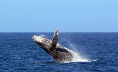 沖縄の冬といえばホエールウォッチングです  地球上で一番大きい哺乳類の生物といえばザトウクジラ 見に行きましょうザトウクジラ 冬の沖縄はザトウクジラに会える確率90以上去年の遭遇率はなんと97でした 見たい会いたいクジラに会いにきなさい料金も4200円ほどです   クジラガイドと行く ホエールウォッチング2017情報一覧イベント沖縄観光情報WEBサイト おきなわ物語 tags[沖縄県]