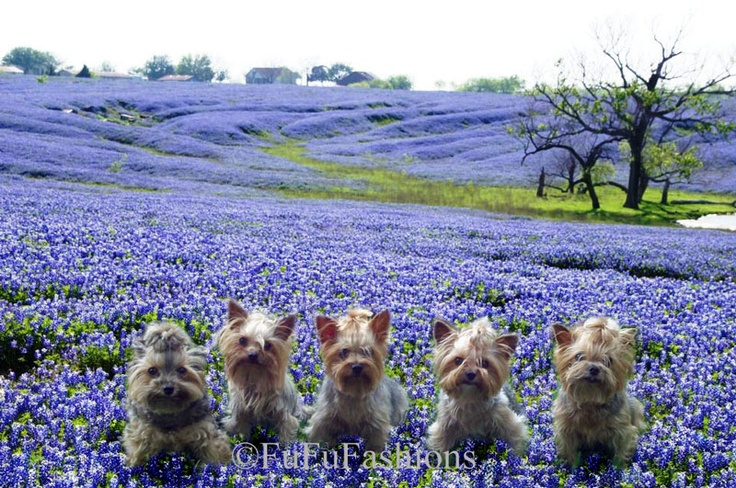 Yorkies in Texas bluebonnets! Love!!!!!