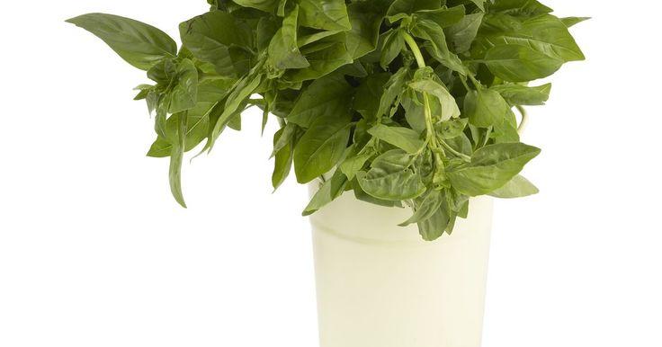 Como podar uma planta de manjericão. O manjericão-de-folha-larga, Ocimum basilicum, é o mais frequentemente cultivado da família do manjericão. É uma erva excelente para o jardineiro caseiro, pois é fácil de cultivar, aromática e saborosa. Ele é anual, por isso novas plantações são necessárias todo ano, mas durante a época de cultivo uma poda regular é importante para produzir folhas ...