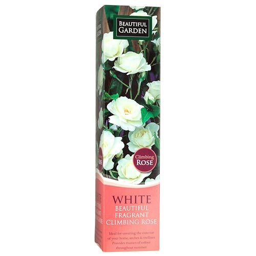 Climbing Rose - White