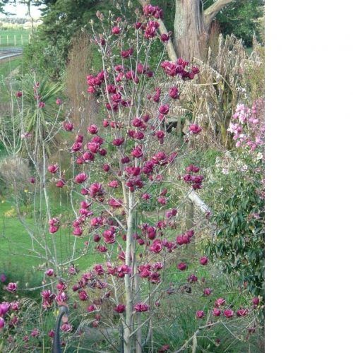 *** MAGNOLIA GENIE C10 125/150 - http://www.citygarden.ro/produs/magnolia-genie-c10-125150/