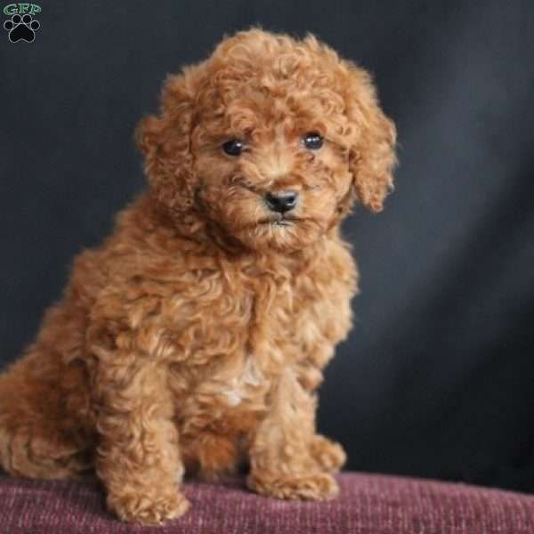 Daisy Miniature Poodle Puppy For Sale In Virginia Poodle