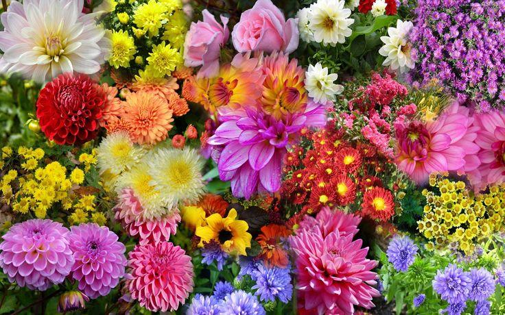 Różnokolorowe, Dalie, Chryzantemy, Złociste, Róże