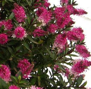 Hebe raspberry ripple evergreen shrub hardy flowers for Hardy flowering trees