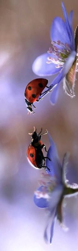 2 lady birds (lady bugs) meet up...or it could be one ladybird and one man bird(or bug!!)....whatever, they're meeting each other and it's a beautiful experience and a beautiful photo:))