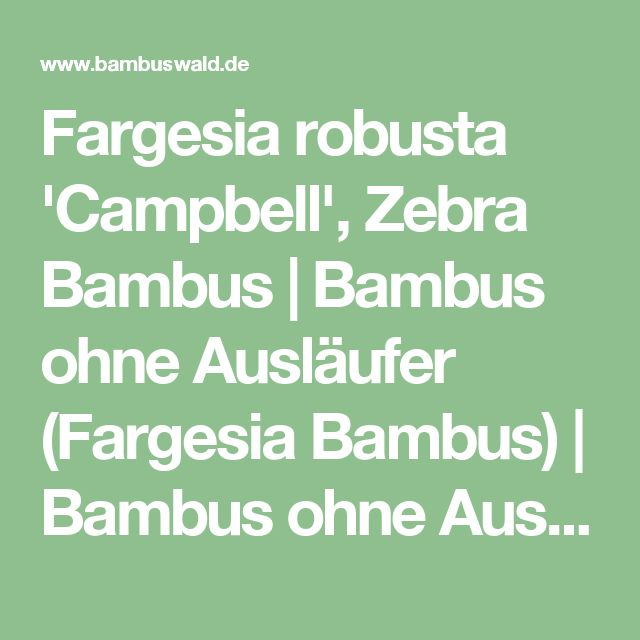 Fargesia robusta 'Campbell', Zebra Bambus | Bambus ohne Ausläufer (Fargesia Bambus) | Bambus ohne Ausläufer | Bambus und Pflanzenshop