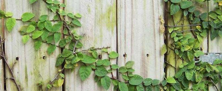 Creeping Fig..... evergreen vine..........Ficus pumila by giancarlo