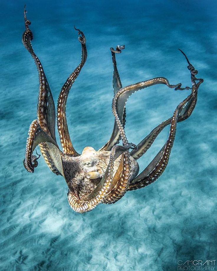 Octopus; just bobbing along, bobbing along...on the bottom of the beautiful briny sea...