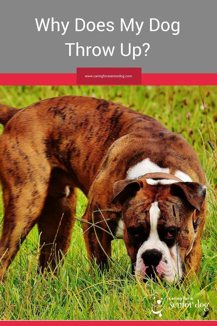 Why Does My Dog Throw Up Dog Throwing Up Senior Dogs Care Senior Dog