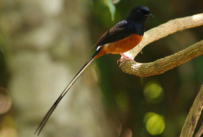 Harga Burung Murai Batu Terbaru