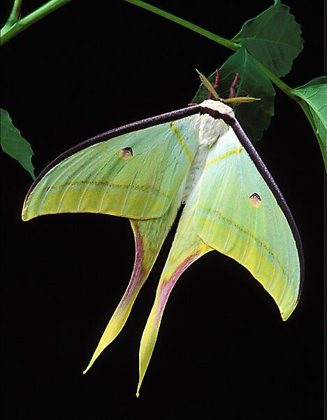 This is a beautiful shot of an Indian Moon Moth or Indian Luna Moth by Bob Jenson.