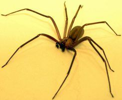 Signs & Symptoms of Brown Recluse Spider Bites