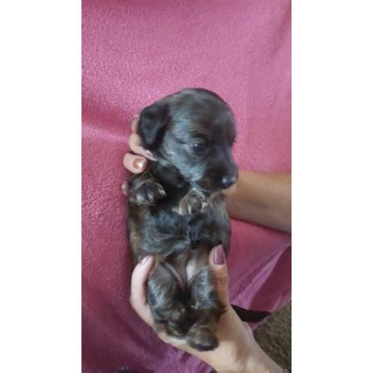 4 long hair mini dachshund pups