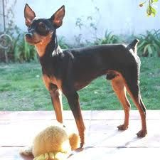 osCurve Mascotas: El pinscher miniatura es un pequeño valiente