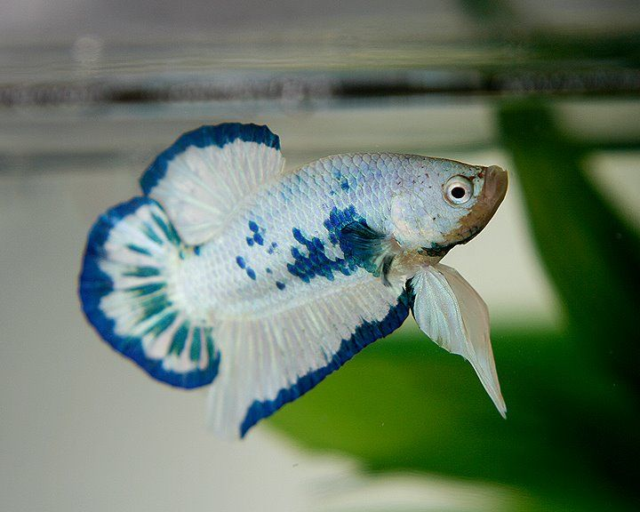 Siamese Fighting Fish - White/Blue Marble Plakat male ...