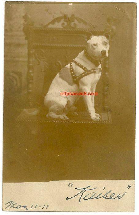Vintage pitbull dog photo Kaiser collar image real by odpeacock