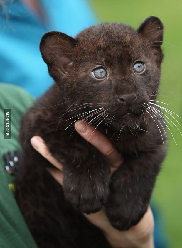 Baby panther. Serious face, serious paddy-paws.
