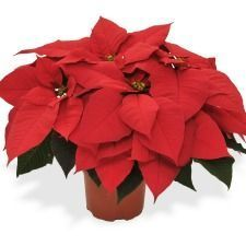 Christmas Gifts - Available from November Poinsettia Plant Gift - Available early December
