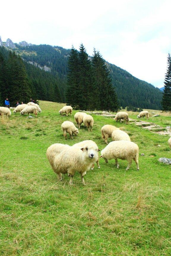 Zakopiańskie owieczki