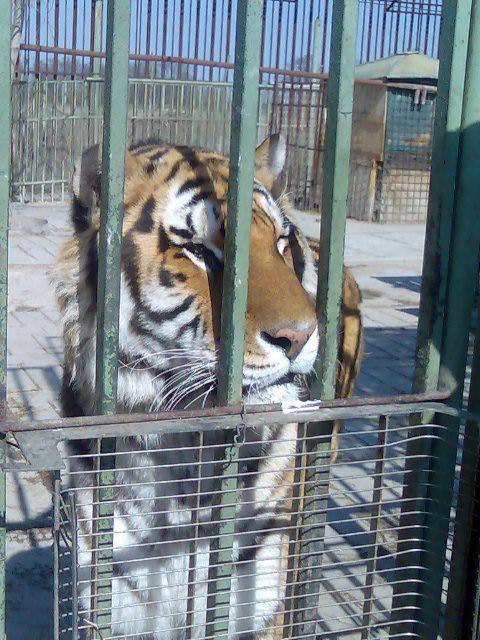 http://www.49lley.com/c/carpet-therapy From Oasis siberian tigers