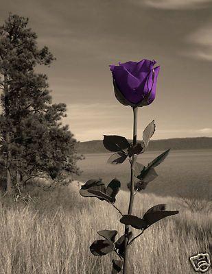 The Purple Rose. My true favorite rose. :-)