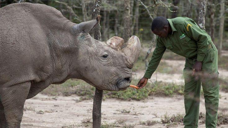 MUY GRAVE EL ÚLTIMO RINOCERONTE BLANCO. Un equipo de veterinarios de todo el mundo supervisa 24 horas al día el estado de salud de Sudán, el último rinoceronte blanco del Norte. El animal, de 45 años de edad, se recuperó con éxito a finales de 2017 de una infección en su pata derecha derivada de su avanzada edad pero ahora sufre una nueva infección en el mismo lugar y los expertos están preocupados por su futuro en el Parque Nacional Laikipia, Kenia.     MIRÁ TODA LA FOTOGALERÍA—–>