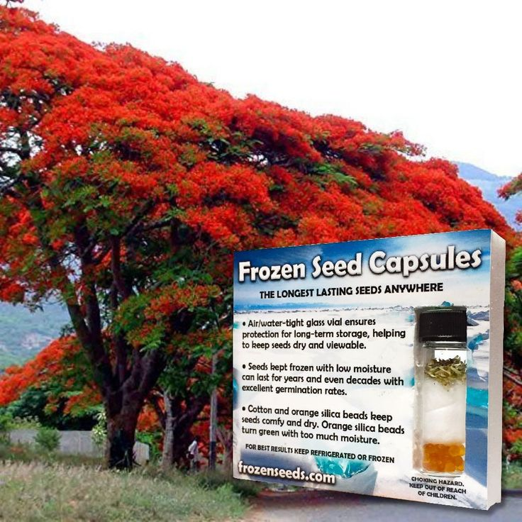 Royal Poinciana Flame Tree Seeds (Delonix regia)