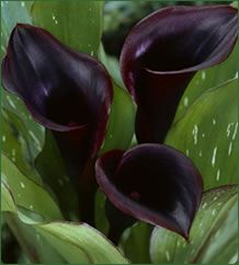 Calla lily 'Black Star' is a dark reddish black with an unusual dark stem. It is the only calla lily to boast reddish burgundy trim on the outer edges of its leaves. This gorgeous calla is so dark as to stand out like a shaddow against its lush, green foliage.  Plant height 10-24 inches tall. Bulb Size: 2-3 inches.
