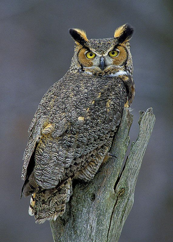 SALE 30 OFF Owl Great Horned 5x7 Matted Bird by NatureIsArt, $13.30