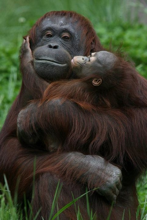 Orangutans - what amazing gentleness from such an enormous  mom towards her offspring