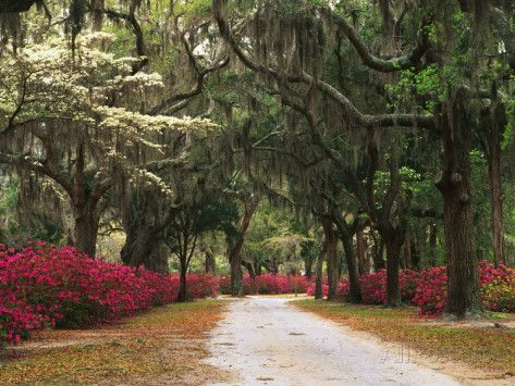 Road Lined with Azaleas and Live Oaks, Spanish Moss, Savannah, Georgia, USA Photographic Print by Adam Jones at AllPosters.com