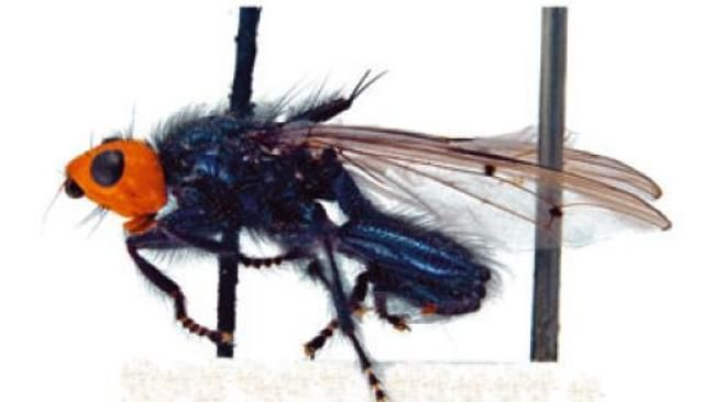 Rare corpse-eating fly back from extinction