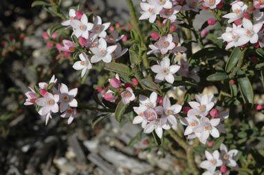 "Philotheca ""Flower Girl"". A hardy small shrub that adapts well to a wide range of environments. The pinkish tinge to the open flowers is a feature. Great plant for a shrubbery or pot. Good cut flower as well."