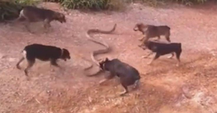 Cinco cães são filmados atacando cobra enorme